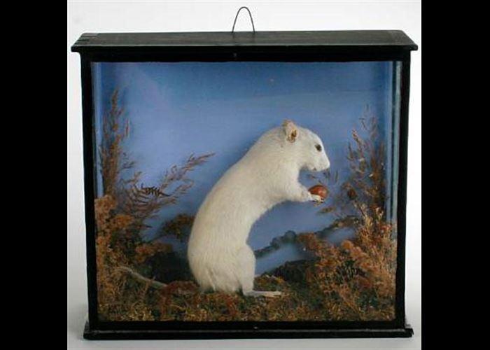 Mr(s). Unknown - Specimen White Rat